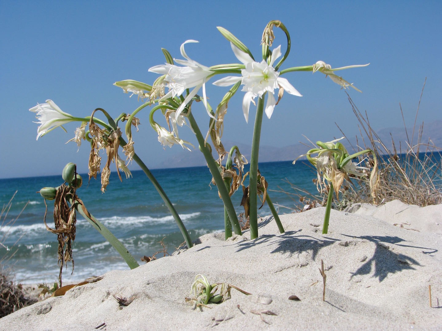 Pancratium Maritimum on the beach in Mastichari (Fauna and Flora)