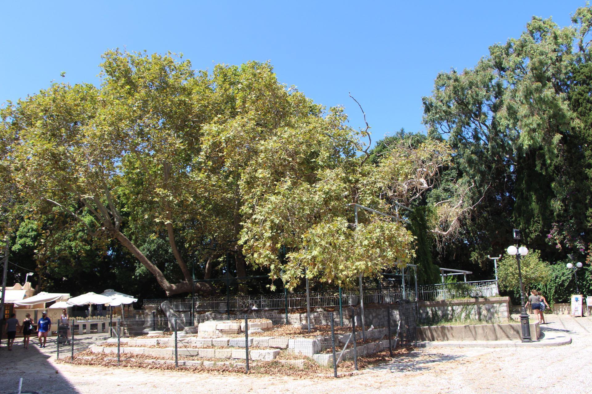 The plane tree of Hippocrates