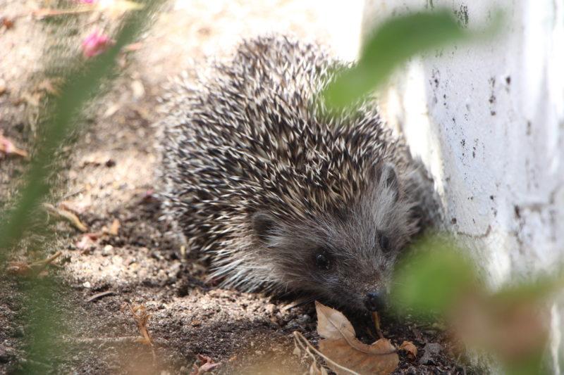 Hedgehog (Fauna and Flora)