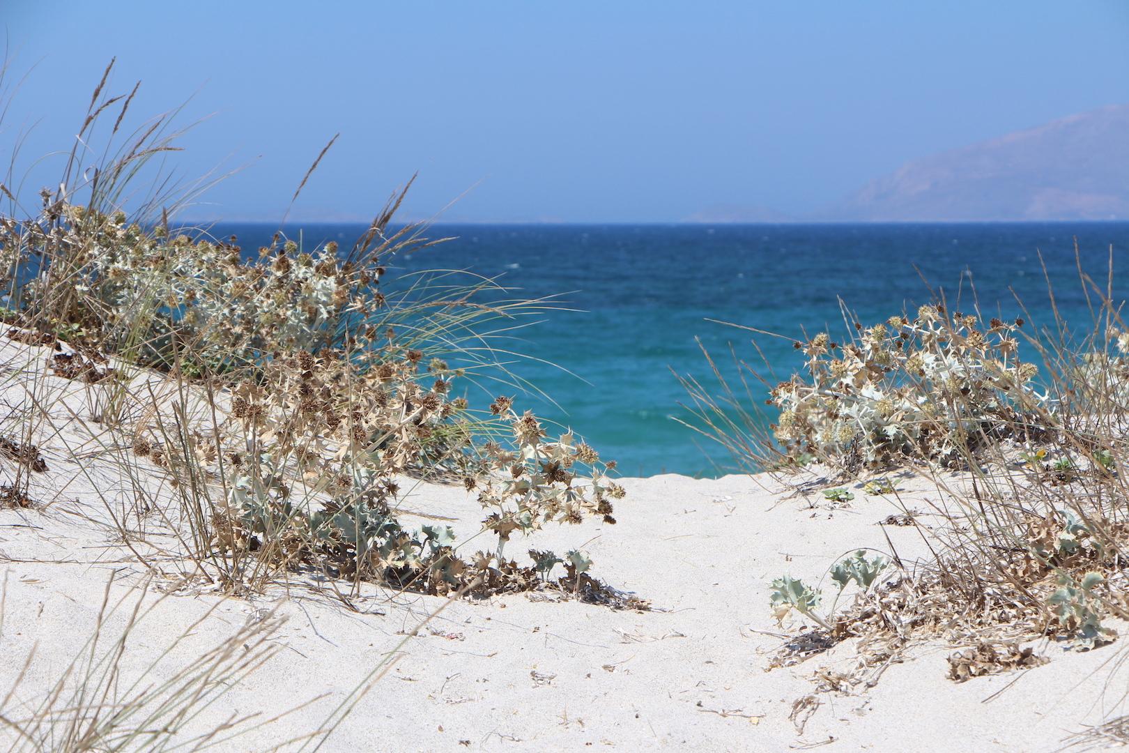 Beach Holly