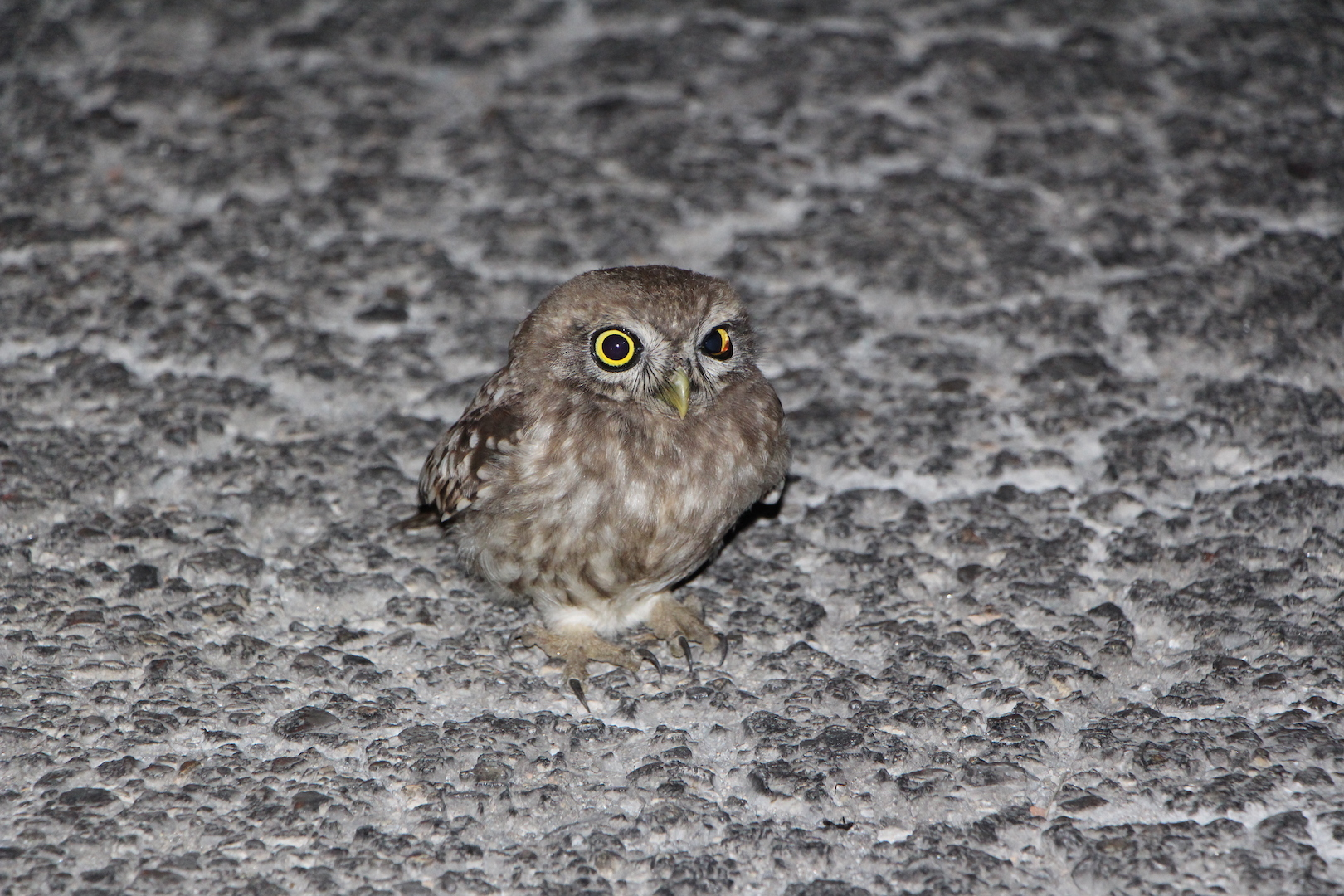 Owl on a road at night (Fauna and Flora)