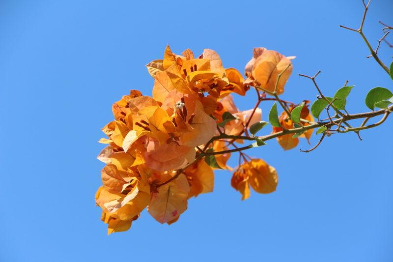 Bouggainvillea (Fauna and Flora)
