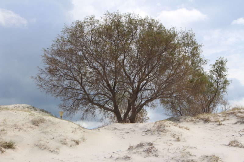 Salt Cedar