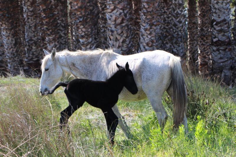 Horses (Fauna and Flora)
