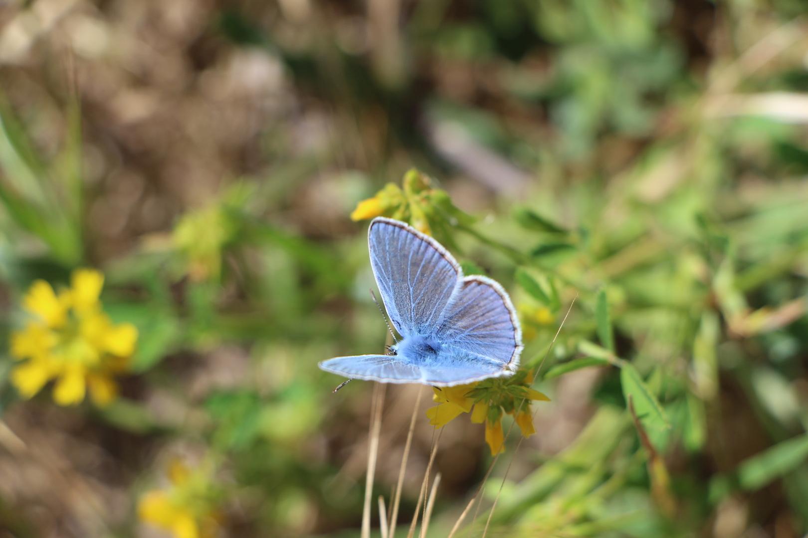 Butterflies (Fauna and Flora)