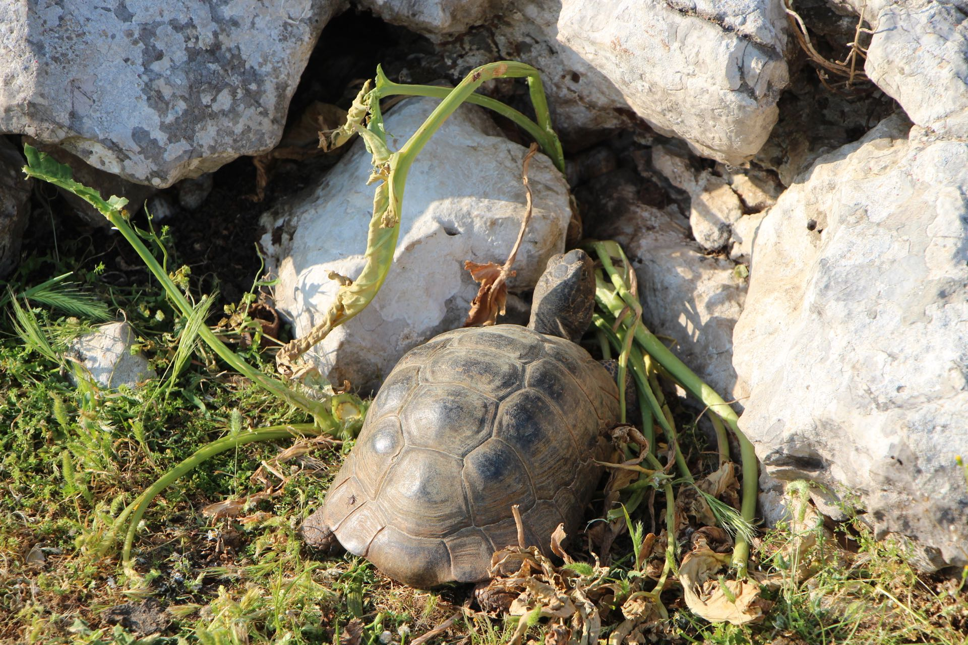 A tortoise on Mount Psoriaris on the island of Kos in Greece